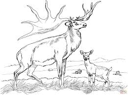 Tule Elk Deer Coloring Page Free Printable Pages