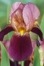iris indian chief in my garden iris bearded