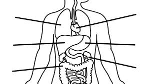 Human Body Structure Drawing At Free For Personal Internal Organs Coloring Pages The Heart