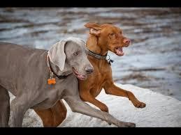 do vizsla dogs shed weimaraner and vizsla tds