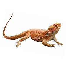 Bearded Dragon Heat Lamp Went Out by Bearded Dragon Reptile Snakes Turtles U0026 More Petsmart