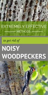 Extremely Effective Methods To Get Rid Of Noisy Woodpeckers ... Ayam Cemani Hybrids Backyard Chickens 25 Beautiful Crow Food Ideas On Pinterest Crows And Raven Backyard Bird Idenfication Outdoor Goods 257 Best S Images Ravens Vulture In My Backyard Youtube Control Sos Wildlife Toronto We Played An Old Mattress The Growing Up 70s A Tale Of Two Roosters Men A Little Farm How Do I Get Rid Of Grass In Garden Area Black Best Photos Animals 2017 Home Lawn Pest How To Get Rid