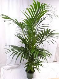 palmenlager howea forsteriana kentia kaufland de