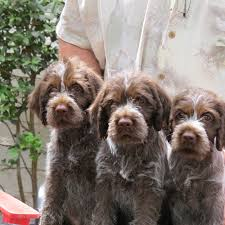 Do Wirehaired Vizslas Shed by Stella Wirehaired Pointing Griffon Hunting Dogs Pinterest