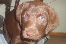 Chesapeake Bay Retriever Vs Lab Shedding by Chesador Dog Breed Information And Pictures