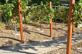 Backyard Farming: Another Use For Parking Strip: Grape Vines Small Plot Intensive Gardening Tomahawk Permaculture Backyard Vineyard Winery Grapes In Your Own Backyard Lifestyle Bucks County Courier More About The Regent Winegrape Growing Your Grimms Gardens Trellis With In The Yard At Home How To Grow Grapes Steemit Seedless Stark Bros Grape Orchards Pinterest Orchards Seattle Wa Youtube Grown Grape Vine And Trellis Stock Photo Royalty First Years Goal