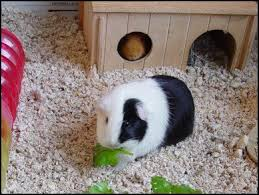 Pine Bedding For Guinea Pigs by 425 Best Guinea Pig Images On Pinterest Guinea Pigs Pig Stuff
