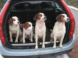 Do Brittany Spaniels Shed Hair by Highlight On Hunting Dogs Brittany