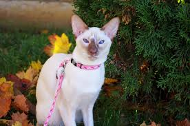 shorthair cat price the ultimate cat breed list with facts cbwp