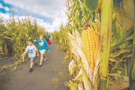 Denver Pumpkin Patch Corn Maze by Life Denver Colorado Denverherald Net