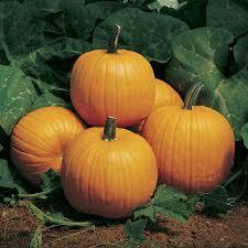 Natural Fertilizer For Pumpkins by Howden Pumpkin Seeds