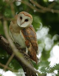 Summer Barn Owls In Oak Trees | Mike Rae Barn Owl Close Up Youtube Birds Of North America Online Bisham Group Biology Owlingcom Best 25 Owls Ideas On Pinterest Beautiful Owl Owls And Wikipedia Audubon Field Guide Familiar Emilysculpts Found To Suffer No Hearing Loss As They Age New Zealand Chicks Stock Photos Images Alamy