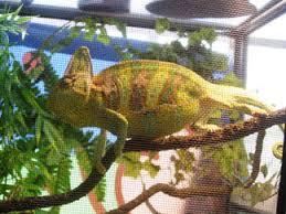 Basking Lamp For Chameleon by Chameleon World Health Section E Parasites