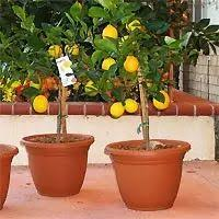 35 best grow your own citrus at home images on fruit