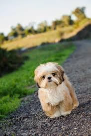 Do Pomskies Shed Fur by Best 25 Shih Tzu Ideas On Pinterest Shih Tzu Puppy Shih Tzu