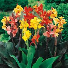 canna bulbs for sale buy flower bulbs in bulk save