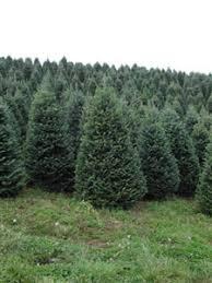 Frasier Christmas Tree Cutting by Christmas Tree Wholesale Suppliers Fraser Ridge Fraser Fir Tree Farm