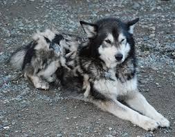 husky fur archive pet talk