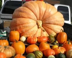 Atlantic Giant Pumpkin Taste by Growing A Giant Pumpkin How To Grow Monster Huge Vegetables