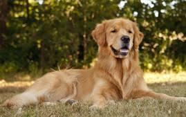 Chesapeake Bay Retriever Molting by Chesapeake Bay Retriever Dog Breed Information