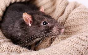 best bedding for rats from great options to unsafe options