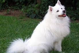 american eskimo dog appearance grooming