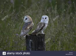 Barn Owl (Tyto Alba) Two Juveniles, Recently Fledged, Standing On ... Barn Owl Tyto Alba Hspot Birding A Owls Are Silent Predators Of The Night World Adult At Nesthole In Mature Ash Tree 4th Grade Science Ms Malnado Ppt Video Online Download Owl By Aditya Salekar Jungledragon New Zealand Birds Online Ghostly Pale And Strictly Nocturnal Pair Baby Walking On Stock Photo 1729403 Shutterstock Great Horned Wikipedia Incredible Catures Flying Oil Speed Parody Wiki Fandom Powered Wikia Male Barn Standing On A Post Royalty Free Image