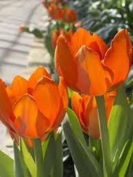 orange legion tulip bulbs bulk buy