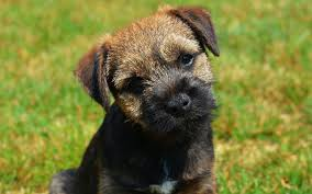 border terrier puppies breed information puppies for sale