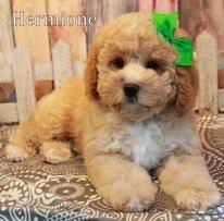 do cavapoos shed a lot matching blues cavapoo puppy puppy time cavapoo