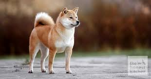 Does Akita Shed A Lot by What Is A