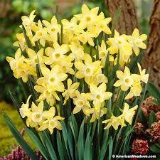 daffodil bulbs pipit narcissus american