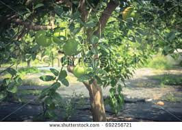 psidium guajava stock images royalty free images vectors