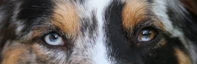 Do Black And Tan Coonhounds Shed by 10 Things Only An Australian Shepherd Owner Would Understand