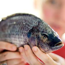 Holding Raw Whole Tilapia