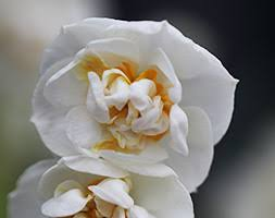 buy narcissus bridal crown daffodil bulbs at scentedshrubs