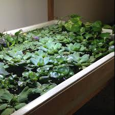 Water Lettuce Aquarium Pinterest Aquarium Axolotl Tank And Water