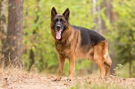 le berger pas cher chien préféré des français le berger allemand détrôné
