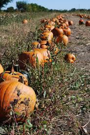 Pumpkin Farms In Belleville Illinois by Relleke Pumpkin Patch