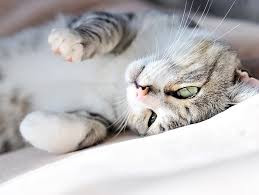 renal failure in cats treatment and prognosis for kidney failure in cats petfinder