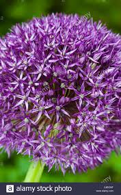 ornamental allium globemaster summer flower bulb perennial