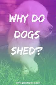 Excessive Hair Shedding In Dogs by Why Do Dogs Shed How To Clean Dog Fur Good Dog Story