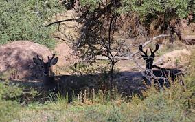 Whitetail Deer Shedding Velvet by A Couple Roadside Bucks Taking Video And Photos Of Coues Deer