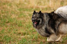Dogs That Dont Shed Keeshond by Keeshond Fantastic Pet Encyclopedia Uk