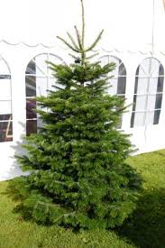 Types Of Christmas Trees To Plant by Christmas Trees For Connoisseurs Morning Ag Clips