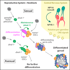 Control Of Progesterone Receptor Transcriptional Synergy By