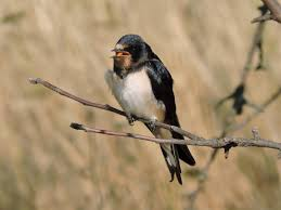 Barn Swallow (Hirundo Rustica). Birds Of Ukraine. European Barn Swallow Hirundo Rustica Stock Photo Royalty Free Swallow Idaho Birds Audubon Guide To North American Posing On A Fence Of Ukraine Birdwatching Alentejo Portugal Boerenzwaluw Barn Stock Image Image Young 67199779 Detailed Close Up Hinterland Whos Who Or The Uk And Ireland Male Swallows