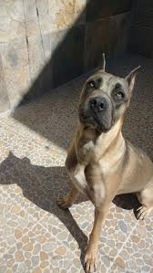 Cane Corso Italiano Shedding by 78 Best Cane Corso Images On Pinterest Canes Cane Corso And Animals