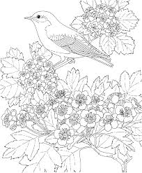 Blue Bird Coloring Pages Free Printable Page Missouri State And Flower