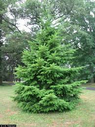 Christmas Tree Types Oregon by Tree In A Box Douglas Fir
